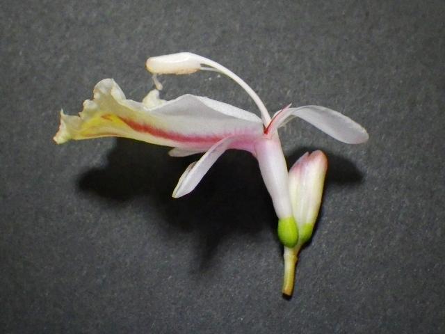 130520クマタケランも2つの花