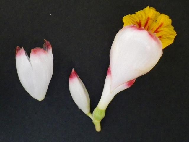 サネン 2つの花