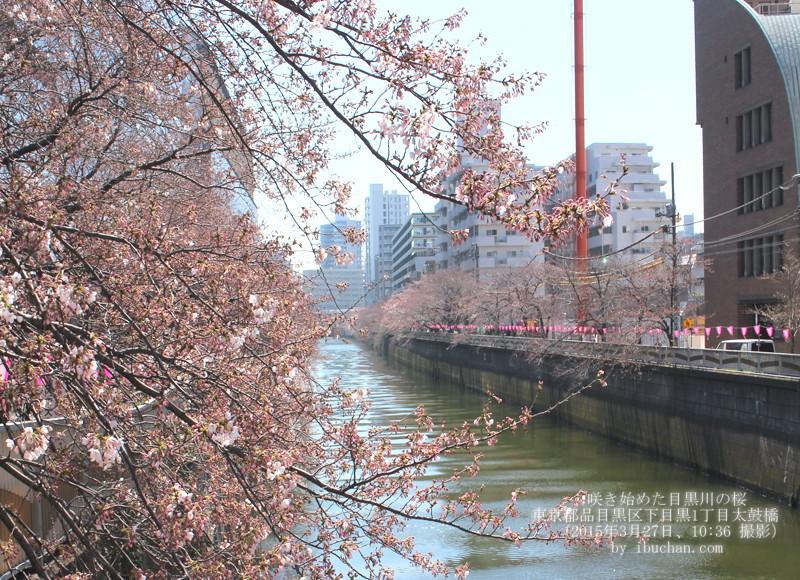 咲き始めた目黒川の桜