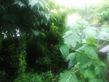 イヌマキの木