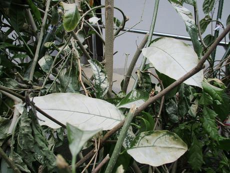 白化した葉っぱ