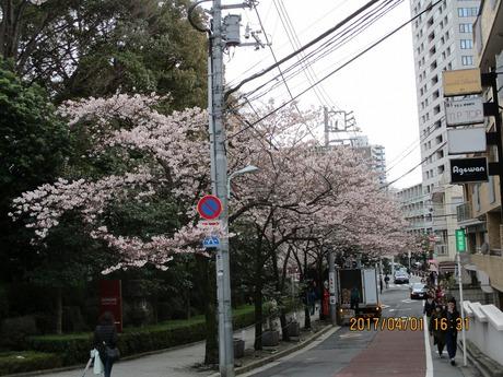桜4分咲き