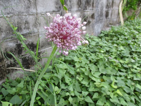ニンニクの花