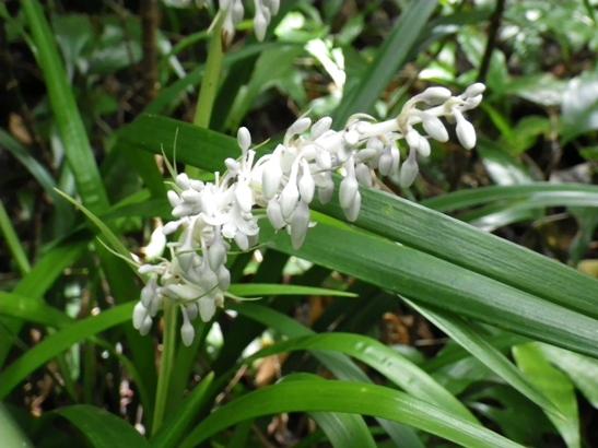 シラン (植物)の画像 p1_37